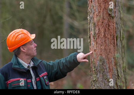 21 February 2019, Saxony-Anhalt, Flechtingen: Thomas Roßbach, head of the forestry office of the Landeszentrum Wald Sachsen-Anhalt, is investigating a larch which is infested by the larch bark beetle and whose bark has been damaged as a result. At present, sick conifers are being cleared near Flechtingen in order to counteract mass propagation of the pests. The foresters of the Landeszentrum Wald Sachsen-Anhalt attribute the damage to the coniferous forests to the drought in 2018. After the sick trees have been cleared, they are to be reforested with climate-resistant and site-suitable tree sp - Stock Photo