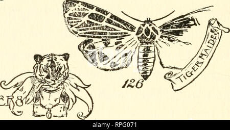 . The American boys' book of bugs, butterflies and beetles. Insects. 130 Bugs, Butterflies, and Beetles cracks in the winter ice, some at right angles to each other (Fig. 126) and some diagonally rumiing across the wing.. TIG^R MILLE. THE CLYMEME TIGER MIIJ-ER This miller can he easily recognized hy the two dusky spots on its lower wings and the oddly- shaped dark borders to its upper wings, the wings. Please note that these images are extracted from scanned page images that may have been digitally enhanced for readability - coloration and appearance of these illustrations may not perfectly re - Stock Photo