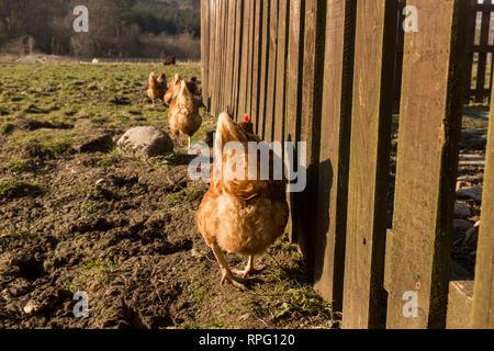 Free range hens in line along wooden fence on small holding in Glen Nevis Fort William scottish Highlands UK - Stock Photo