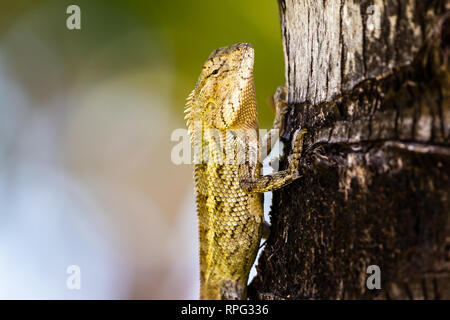 Mauritius oriental garden lizard (Calotes versicolor) resting on a palm tree , soft blurred bokeh background. Mauritius - Stock Photo