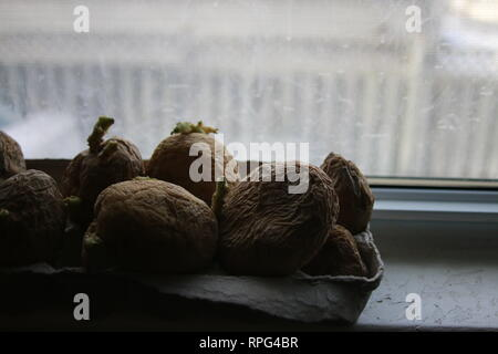 chitting potatoes in front of windowsill to prepare for spring planting. - Stock Photo