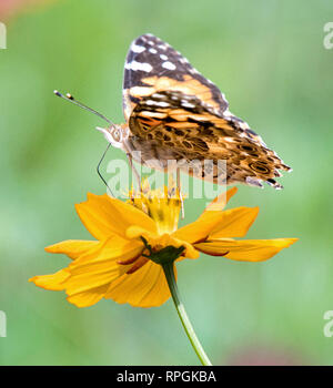 Painted Lady Butterfly Profile, Cosmos Flower - Stock Photo
