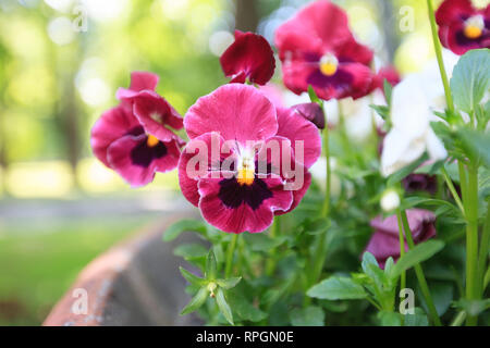 Pansies red outdoors close-up - Stock Photo