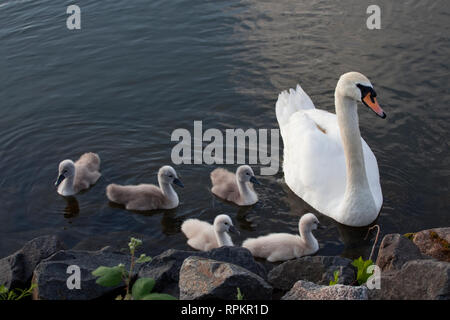 zoology / animals, avian / birds, swan (Cygnini), Mute Swan (Cygnus olor), with young animals, Miltenb, Additional-Rights-Clearance-Info-Not-Available - Stock Photo