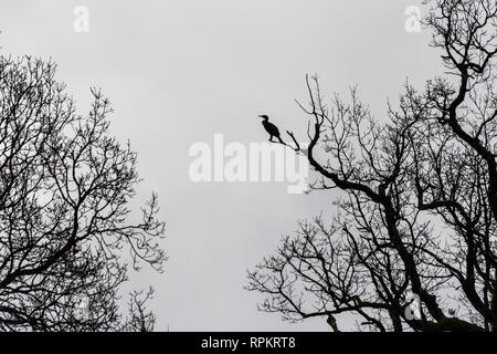 A great cormorant (Phalacrocorax carbo) perching in a tree silhouetted against a cloudy sky - Stock Photo
