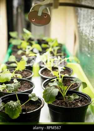 Namenia (Brassica rapa L. var. rapa) and Siberian kale (Brassica napus var. pabularia) seedlings growing inside under a grow light. - Stock Photo