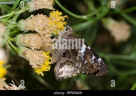 Sưu tập Bộ cánh vẩy 2 - Page 38 Arizona-skipper-codatractus-arizonensis-nectaring-on-san-felipe-dogweed-adenophyllum-porophylloides-rpmn4n