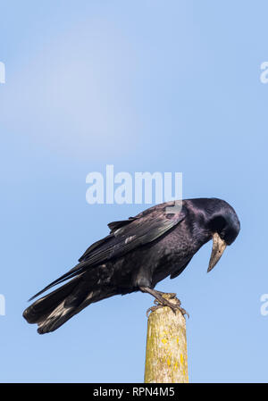 Side view of an Adult Rook (Corvus frugilegus) perched on a post in Winter in West Sussex, UK against blue sky. Portrait vertical with copy space. - Stock Photo