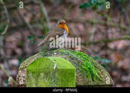 A robin (Erithacus rubecula) perching on a gate post - Stock Photo