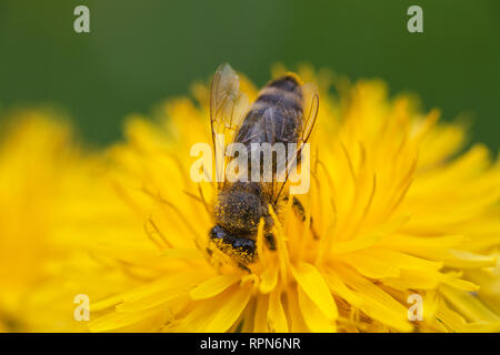 zoology / animals, insects (Insecta), bee on dandelion (Taraxacum), blossom, Additional-Rights-Clearance-Info-Not-Available - Stock Photo