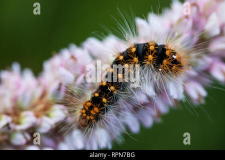 zoology / animals, insects, Scarce Dagger (Acronicta Auricoma), caterpillar on European bistort, Upper, Additional-Rights-Clearance-Info-Not-Available - Stock Photo
