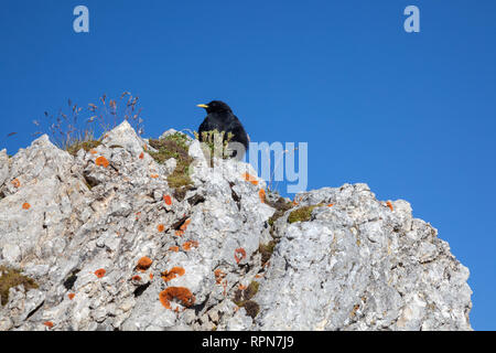 zoology / animals, avian / bird, Alpine Chough, (Pyrrhocorax graculus), in the Karwendel Mountains, di, Additional-Rights-Clearance-Info-Not-Available - Stock Photo