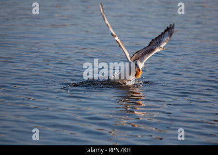zoology / animals, avian / bird, Black-headed Gull, (Chroicocephalus ridibundus), with bread, distribu, Additional-Rights-Clearance-Info-Not-Available - Stock Photo
