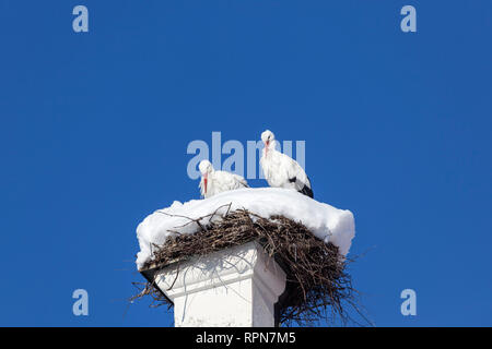 zoology / animals, avian / bird, storks, White Stork, (Ciconia ciconia), stork couple, in bird's nest,, Additional-Rights-Clearance-Info-Not-Available - Stock Photo