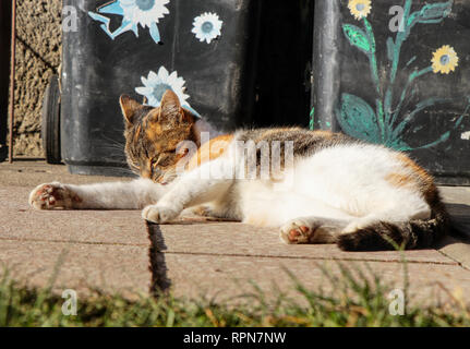 A colorful domestic cat is heating on sun in summer. A kitten with big ears cleaning herself for perfect look - Stock Photo