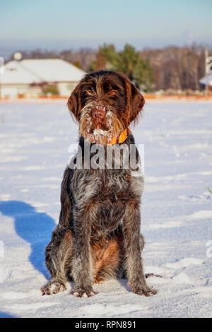A Bohemian Wire-haired Pointing Griffon or korthals griffon sitting in the middle of meadow covered snow. She has paws and beard full of snow. - Stock Photo