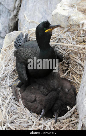 zoology / animals, birds (Aves), Shag, Phalacrocorax aristotelis, shag, Additional-Rights-Clearance-Info-Not-Available - Stock Photo