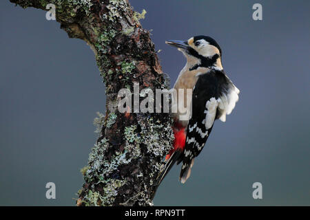 zoology / animals, birds (Aves), Great Spotted Woodpecker, Dendrocopos major, Great spotted woodpecker, Additional-Rights-Clearance-Info-Not-Available - Stock Photo