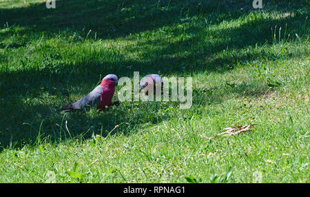 Distant view of two parrots on green grass on sunny day - Stock Photo