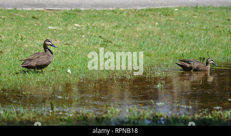 Distant view of two ducks on sunny day near water with green grass around - Stock Photo