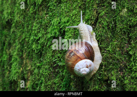 zoology / animals, mollusc (Mollusca), edible snail, helix pomatia, escargot, Switzerland, Additional-Rights-Clearance-Info-Not-Available - Stock Photo