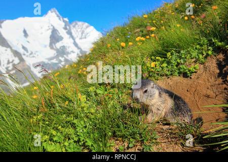 zoology / animals, mammal / mammalian (mammalia), Alpine Marmot, Marmota marmota, Additional-Rights-Clearance-Info-Not-Available - Stock Photo