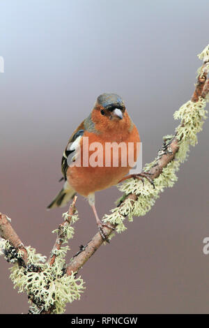 zoology / animals, avian / bird (aves), Chaffinch, Fringilla coelebs, chaffinch, Scotland, Additional-Rights-Clearance-Info-Not-Available - Stock Photo