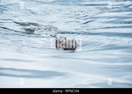 zoology / animals, mammal / mammalian (mammalia), Beaver (Castor canadensis) swimming on Horseshoe Lak, Additional-Rights-Clearance-Info-Not-Available - Stock Photo