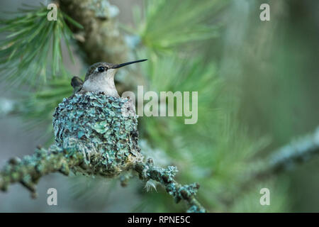 zoology / animals, avian / bird (aves), Female Ruby-throated Hummingbird (Archilochus colubris) on nes, Additional-Rights-Clearance-Info-Not-Available - Stock Photo