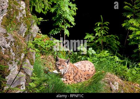 zoology / animals, mammal / mammalian, lynx, Eurasian lynx (Lynx lynx), outdoor enclosure, Neuschoenau, Additional-Rights-Clearance-Info-Not-Available - Stock Photo