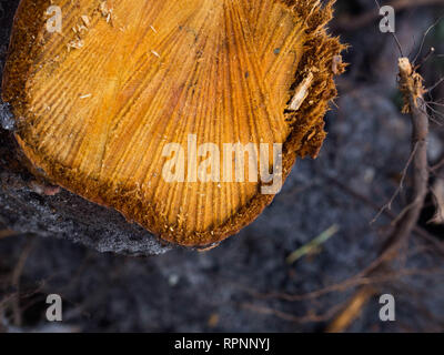 Wooden orange stump. Round cut down tree with annual rings as a wood texture - Stock Photo
