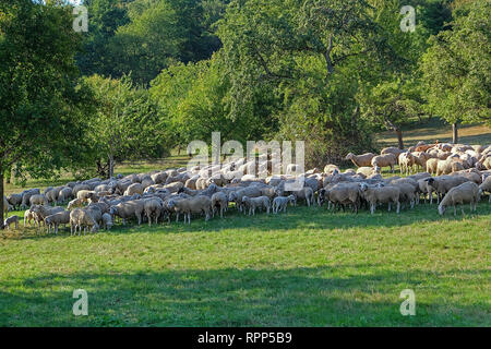 flock of sheep in a romantic environment - Stock Photo