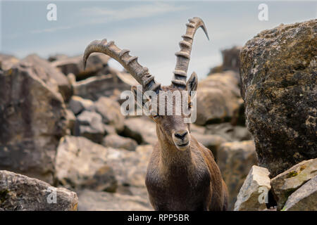 powerful capricorn in the alps - Stock Photo