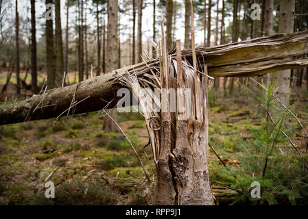 A close-up of a tree split and broken from the middle trunk blown over in a storm from high winds. - Stock Photo