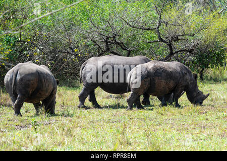 Southern White Rhinoceros (Ceratotherium simum simum) grazing, Ziwa Rhino Sanctuary, Nakasongola District, Northern Uganda, East Africa - Stock Photo