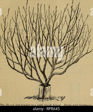 . Amateur fruit growing. Fruit-culture. THE APPLE. r9 tender varieties, it will be better to have the trees branch near to the ground (Fig. 53), since when so formed they are hardier and less exposed to the wind than if they have tall trunks. There is a constant tendency for our trees to incline to the northeast, and this should be prevented so far as possible. To do this the growth should be encouraged on the southwest side by light summer prun- ing on the north side. Also, in setting the trees they should be slightly inclined to the southwest, and an effort made to keep them in that position - Stock Photo