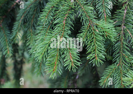 Branch of Picea abies (Norway spruce) - Stock Photo
