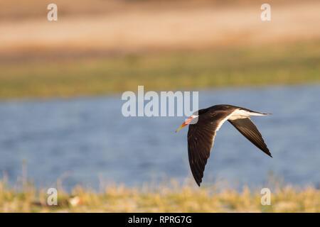 African Skimmer (Rynchops flavirostris) in flight, Chobe National Park in Botswana - Stock Photo