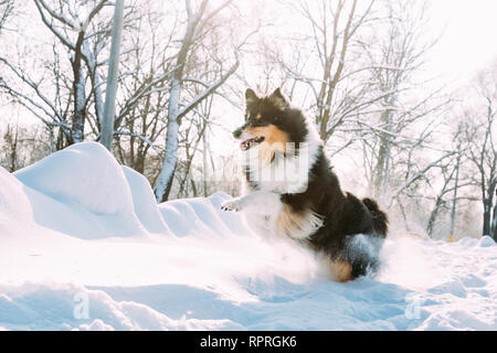Funny Young Shetland Sheepdog, Sheltie, Collie Fast Running Outdoor In Snowy Park. Playful Pet In Winter Forest - Stock Photo