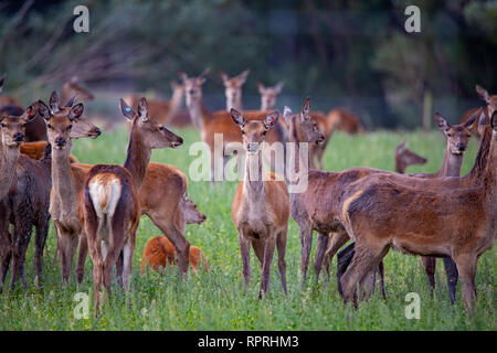 Red deer, being farmed for venision, are very alert in a rural field in Canterbury, New Zealand - Stock Photo