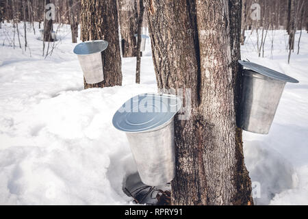 Maple syrup production season in Quebec. Pails attached to maple trees to collect sap. - Stock Photo