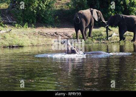 Closeup of a hippopotamus in water with wide mouth open with two elephants close by - Stock Photo