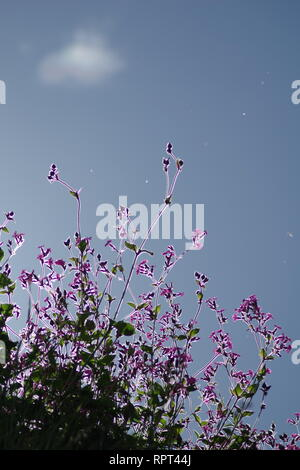 Backlit Red Campion Flowers (Silene dioica) against a Blue Sky. Crail, Fife, Scotland, UK. - Stock Photo