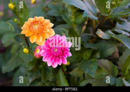 Intensive orange and pink dahlias are blooming next to each other - Stock Photo