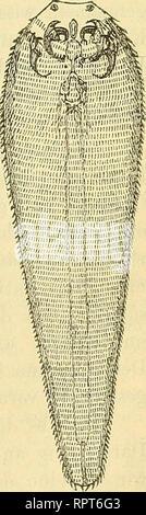. Allgemeine Naturgeschichte der Parasiten : mit besonderer Berücksichtigung der bei dem Menschen schmarotzenden Arten. Parasites; Medical parasitology; Parasites; Parasitology. der Experiinentalhelmiiithologie. 53 Fig. 27. hier au der Hand des Experimentes den Beweis liefern, dass die Keime nach Aussen gelangen und auf einer bestimmten Entwickelungs- stufe wieder in ihre definitiven Träger zurückkehren. Freilich haben sich dabei (für die Nematoden wenigstens) mancherlei neue, sonst nicht weiter beobachtete Verhältnisse ergeben, die unsere Vor- stellungen von den Modalitäten des parasitischen  - Stock Photo