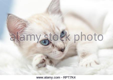 White Siamese tabby kitten laying inside of a white blanket. - Stock Photo