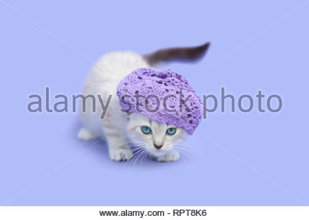 White siamese kitten wearing purple hat, purple background. - Stock Photo