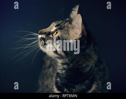Close Up portrait of beautiful grey cat with brown eyes and long white mustache. Vintage filtered photo. - Stock Photo
