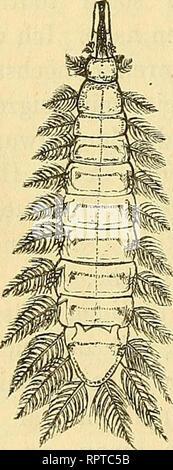 . Allgemeine Naturgeschichte der Parasiten : mit besonderer Berücksichtigung der bei dem Menschen schmarotzenden Arten. Parasites; Medical parasitology; Parasites; Parasitology. 182 Darmwürmer. Es bedarf übrigens nicht einmal der Anwesenheit einer grössern Menge von Darmwürmern, um Veränderungen, wie die voran- stehend beschriebenen, hervorzurufen. Schon ein einziger Bandwurm oder Spulwurm kann Erscheinungen einer mehr oder minder inten- siven Darmreizung bedingen, vorausgesetzt allerdings, dass seine körperliche Beschaflenheit eine nur einigermassen kräftige Bewegung gestattet. Dieselbe Röthu - Stock Photo