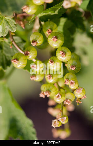Unripe green redcurrant berries on a branch close-up - Stock Photo